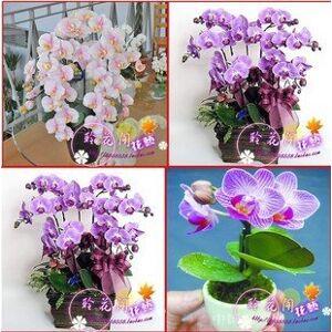 SVI Vente en gros 120pcs / lot 24 différents types d'orchidées multicolores Papillon de fleurs de semences Graines de planteuse maison pot Phalaenopsis bricolage - Publicité