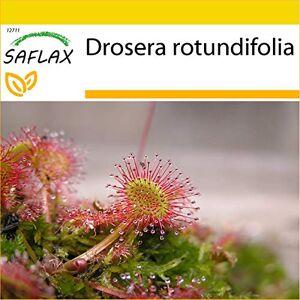 SAFLAX Kit de culture Droséra  feuilles rondes 50 graines Drosera rotundifolia - Publicité