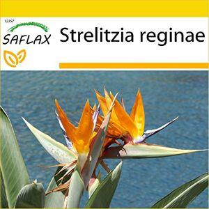 SAFLAX Kit de culture Oiseau de paradis (reginae) 5 graines Strelitzia reginae - Publicité