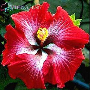 SVI En soldes! Mix Couleur de Graines 100pcs Hibiscus rosa-sinensis Belle Graines de fleurs vivaces  fleurs Plantes Arbre en pot Jardin - Publicité