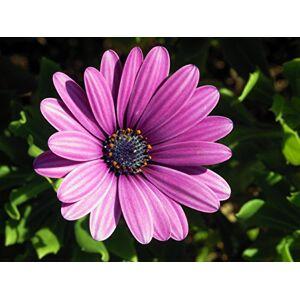 SVI Hot vente Violet Graines Osteospermum plantes  fleurs en pot Graines bleu fleur de marguerite pour bricoler Maison et jardin 50 pices - Publicité
