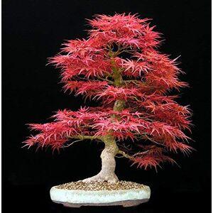 SVI Big Sales !!! 20pcs graines de l'érable bleu chinois rares bonsa bleu graines d'arbres d'érable Bonsai plantes arbres pour les planteurs de fleurs en pot - Publicité