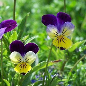 ScoutSeed Graines de Fée Fleur x25 Graines de Pensée Sauvage Jardin de Fée, Sauvage 'Viola Tricolor' - Publicité
