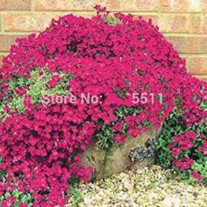 SVI Escalade Fleur 100 Aubrieta Graines Cascade Purple Flowers Seed, Superb vivace Couvre-sol floraison des plantes pour jardin - Publicité