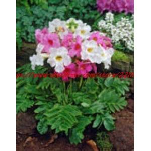 Green Seeds Co. fleurs fleurs de jardin 25pcs / pack INCARVILLEA HARDY GLOXINIA/CREAM & amp; ROSY PURPLE MIX bonsaS DE FLEURS PERENNIALS - Publicité