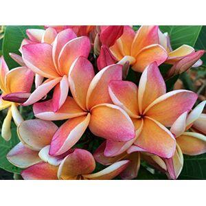SVI New Home Garden 3plantes Graines Mix-color véritable Fresh Plumeria Rouge Lilavadee Arbre Fleur de Frangipanier Graines - Publicité
