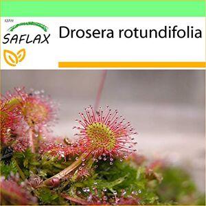 SAFLAX Jardin dans la bote Droséra  feuilles rondes 50 graines Drosera rotundifolia - Publicité