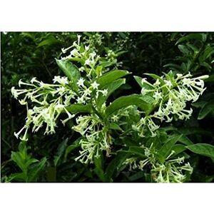 SVI Graines de fleurs Bonsai Night Blooming Jasmine graines de plantes en pot Cestrum nocturnum arbuste odorant ombre Livraison gratuite 30pcs W036 - Publicité