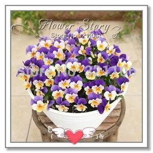SVI 20 Horned Violet Graines (Viola cornuta) fleur vivace, jardin en pot ou dans la cour fleur choix parfait, Livraison gratuite - Publicité