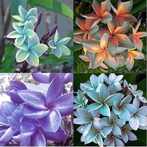 SVI Graines de bricolage SeedsAndPlants Jardin des Plantes 100Seeds Mix-Color réel frais Plumeria Rubra Frangipani Lilavadee Arbre Fleur - Publicité