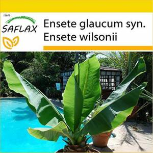 SAFLAX Kit de culture Bananier des neiges 10 graines Ensete glaucum syn. Ensete wilsonii - Publicité