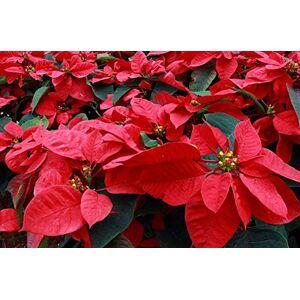 SVI 100 pcs / sac, graines de poinsettia, Euphorbia pulcherrima, plantes en pot, les saisons de plantation, plantes  fleurs - Publicité