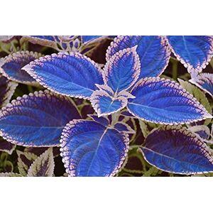 SVI 100 / sac de graines de coleus bleu, de belles plantes  fleurs, pot balcon bonsa couleur sort - Publicité