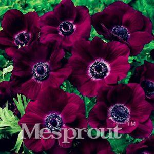 SVI Lot de 50 mini plantes d'anémone japonaises de 12 couleurs différentes - Publicité