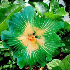 SVI En soldes!!! Les graines d'arbres HIBISCUS rosa-sinensis fleur d'hibiscus graines de graines 200pcs Hibiscus pour les plantes en pot de fleurs - Publicité