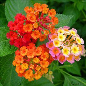 SVI 100 pcs / sac, graines Lantana, graines en pot, graines de fleurs, variété complte, le taux de 95% en herbe, (couleurs mélangées) - Publicité