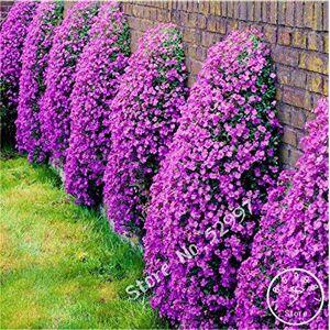 SVI 200 graines / lot rock Cress, GRAINES Aubrieta Cascade Purple Flower, couvre-sol vivace Superbe maison jardin - Publicité