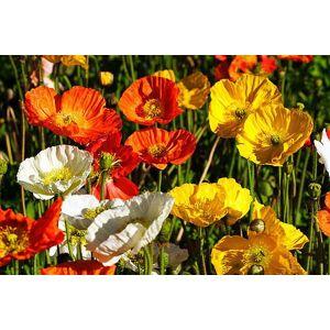 SVI Graines de fleurs pavot d'Islande Mix Rose Jaune Crme Rose Orange Blanc et Bicolors usine de décoration de jardin libre 50 PCS P56 - Publicité
