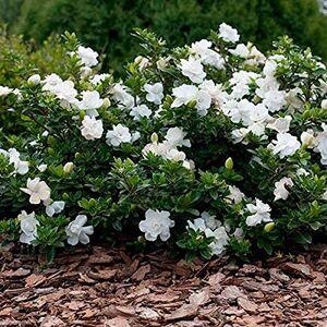SVI Livraison gratuite 50 pices blanches Graines de jasmin, plante odorante arabian jasmin graines de fleurs 49% - Publicité