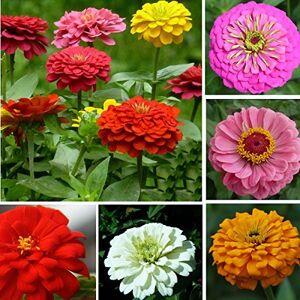 Buckdirect Worldwide Ltd. 50pcs Couleurs mixtes Zinnia Graines Elegans gant Garden Plantation de fleurs - Publicité