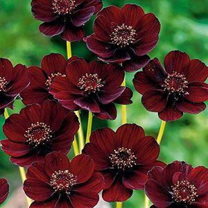 SVI Chocolat Rare Cosmos Graines de fleurs-Blooms tout l'été et a parfum riche comme le chocolat, le bricolage jardin fleur 20 graines / paquet - Publicité