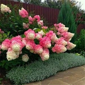 SVI 50 Graines Vanille Fraise hortensia Fleur comme plante ou un arbre bonsa en pot ou moulu Hydrangea macrophylla Pour Maison & Jardin - Publicité