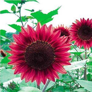 SVI Semences de fleurs 50PC Mini arc graines de tournesol, rares vert, rose, graines de tournesol rouge, plantes ornementales bonsa - Publicité