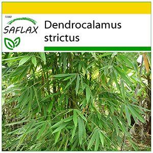 SAFLAX Kit de culture Bambou mâle 50 graines Dendrocalamus strictus - Publicité