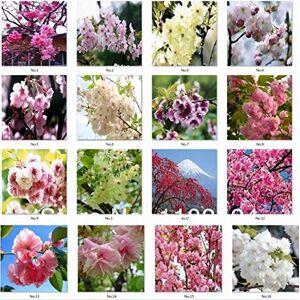 SVI 40pcs belles graines de sakura Cherry blossom bonsa semences de fleurs semences maison bricolage jardin sakura Japon parfum - Publicité