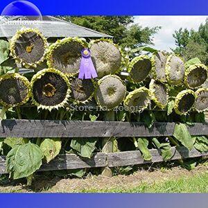 SVI Mongoles Graines de tournesol géant, 20 graines, héritage comestibles tournesols ornementales e3564 - Publicité