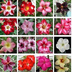 SVI Plantes 10 pcs réel Adenium obesum Graines Graines Desert Rose fleurs jardin Bonsai Succulent Pour ordre d'échantillon - Publicité
