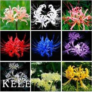 SVI Big Promotion! Lycoris Seeds Seed Rillettes Lycoris Flower Seed Jardin Plantes vivaces de plantation 50 Pices / sac, # OOSKKQ - Publicité
