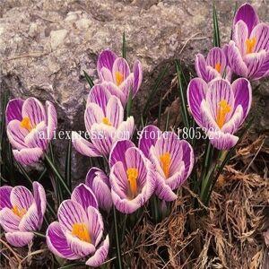 SVI 50pcs / sac, Crocus sativus graines, semences en pot, graines de fleurs, variété complte, le taux de 95% en herbe, (couleurs mélangées) - Publicité