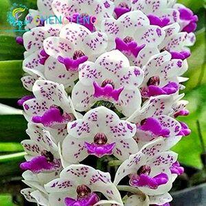 SVI EN SOLDES !!!! 100pcs phalaenopsis Graines d'orchidée papillon orchidée Rare belle maison de graines de fleurs et le jardin - Publicité