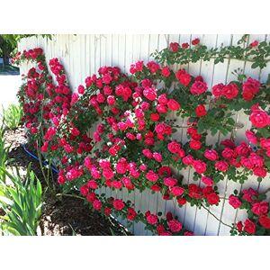 SVI 100 graines / Pack Rose fleur graines d'arbres rosier grimpant fleurs graine d'ornement usine - Publicité