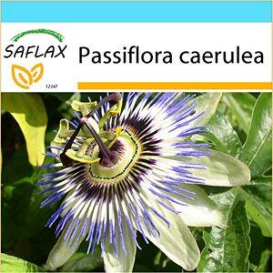 SAFLAX Kit cadeau Passiflore bleue 25 graines Passiflora caerulea - Publicité