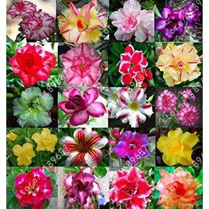 SVI 3PCS réel desert rose Graines de fleurs pots jardinires Adenium obesum graines de couleurs mélangées envoyer - Publicité