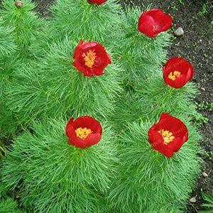 SVI Graines Paeonia tenuifolia Graines Fernleaf pivoine Graines de pivoine Fleur Double Floraison Fernleaf pivoine Graines Rubra Plena Jardin des plantes - Publicité