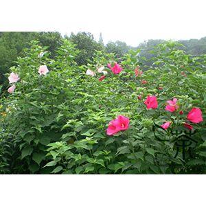 SVI Plante ornementale Graines Hibiscus moscheutos 200pcs, Graines Brillant Coloré Rose Mallow Fleur, Graines Beautifying ketmie des marais - Publicité