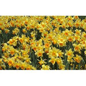 SVI Graines Belle Fleur de narcisse Balcon Plantes jonquille Seeds Balcon Potted Narcissus Tazetta Seeds 100 pices pour jardin - Publicité