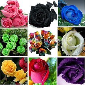SVI 100pcsOn vente! 120pcs 12 couleurs Rose Chinese Seeds arc-en-Rose Noir Blanc Rouge Violet Vert Bleu multicolore fleur rose Se - Publicité