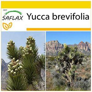 SAFLAX Kit de culture Arbre de Josué 10 graines Yucca brevifolia - Publicité