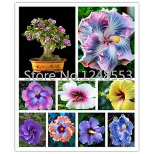 SVI On Sale!!! 200pcs Hibiscus seeds 24kinds HIBISCUS ROSA-SINENSIS Flower seeds hibiscus tree seeds for flower potted plants