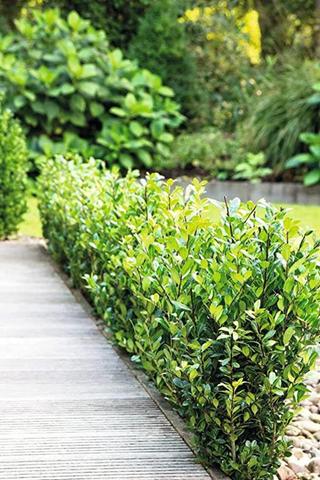 nd 1 pianta di ilex crenata robustica vaso 17cm h30cm empreverdi