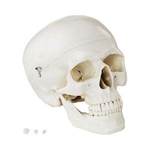 physa Modello anatomico cranio - bianco PHY-SK-4
