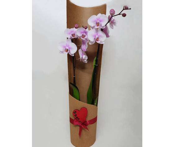 la mimosa pianta di orchidea sfumata semplice 2 rami