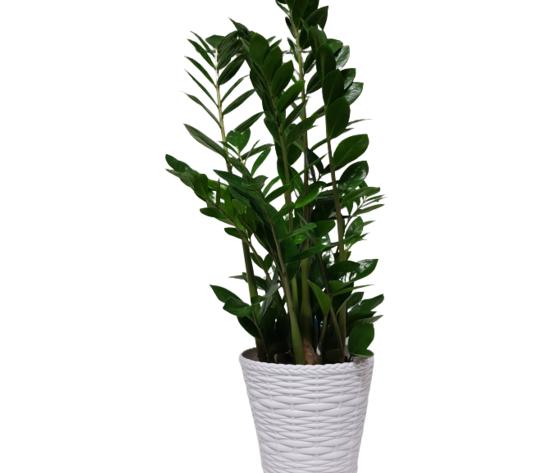 la mimosa pianta di zamilifolia
