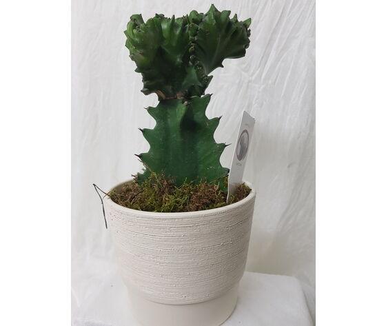 la mimosa vaso con pianta di euphorbia