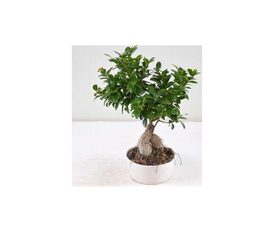 bonsai piccolo
