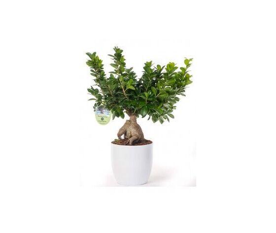 bonsai medio